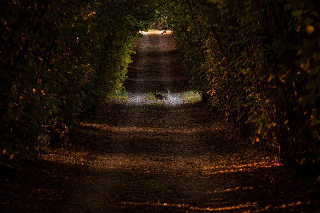 Due lepri illuminate dal sole del mattino fanno mostra di sé lungo il viale che collega la Barchessa con il paese.
