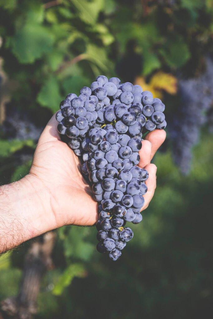 Grande grappolo d'uva Merlot nella mano di un viticoltore.