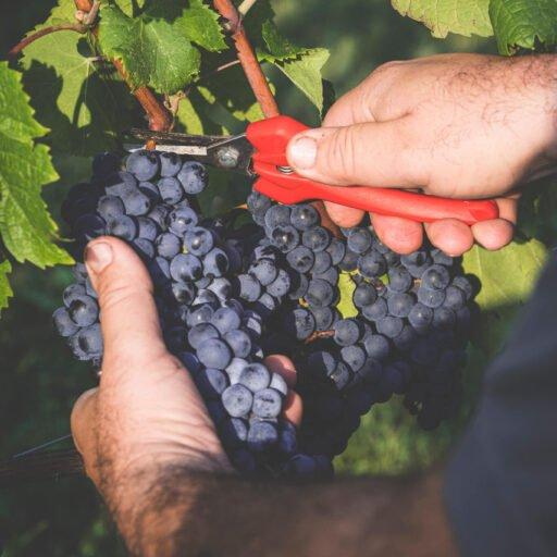 Viticoltore recide il peduncolo di un grappolo d'uva Cabernet.